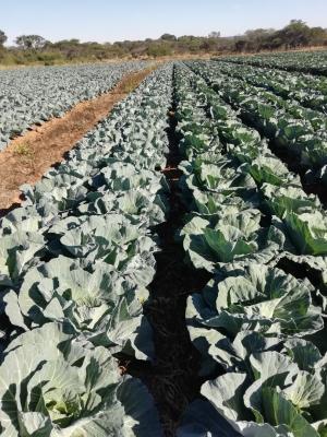 Large head Cabbage